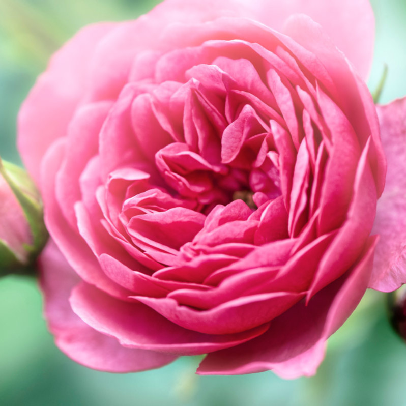 Romantic roses ldf3f9