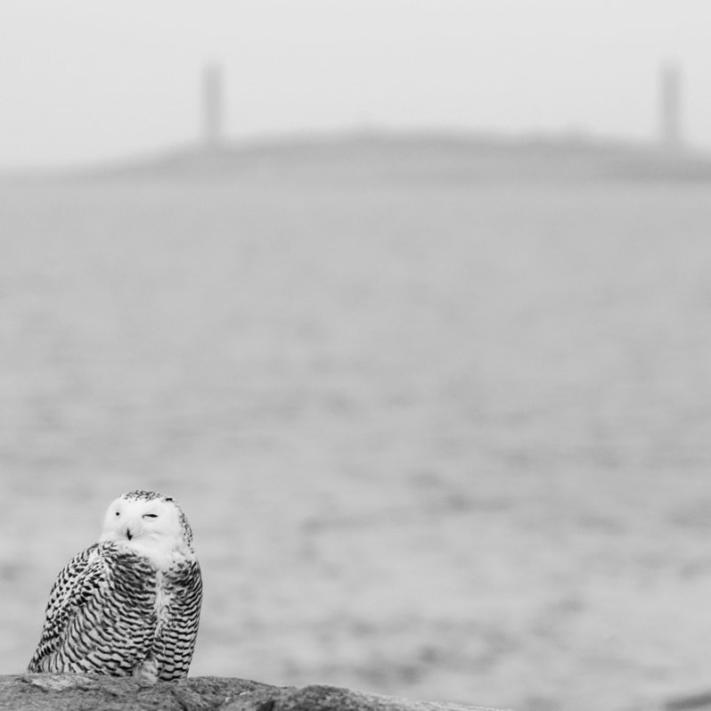 Snowy owl 12x18 vp8q2d