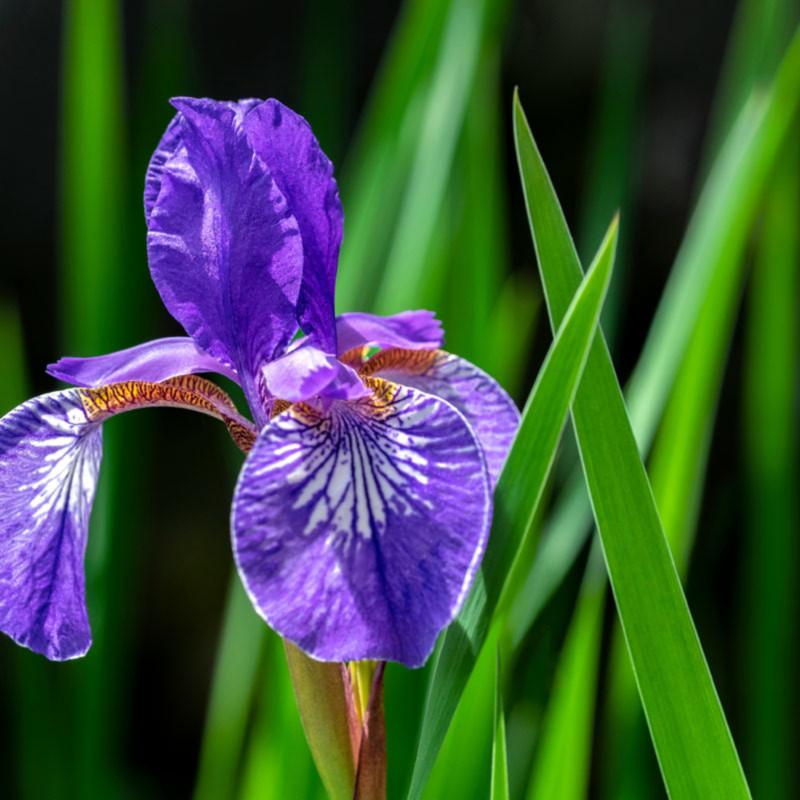 Purple siberian iris h7xq7o