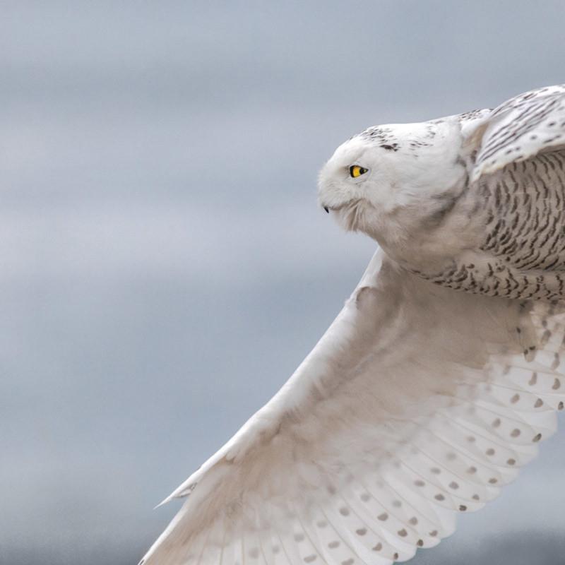 Snowy owl flight 12x18 dqdume