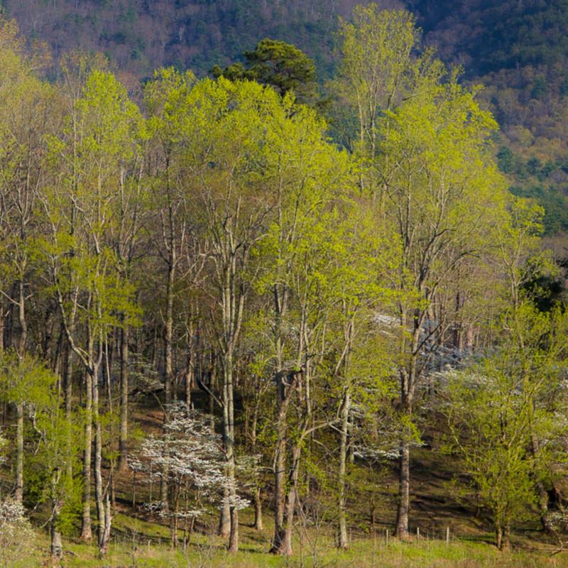 Dogwood blossoms on hyatt lane charlie 25 svzdku