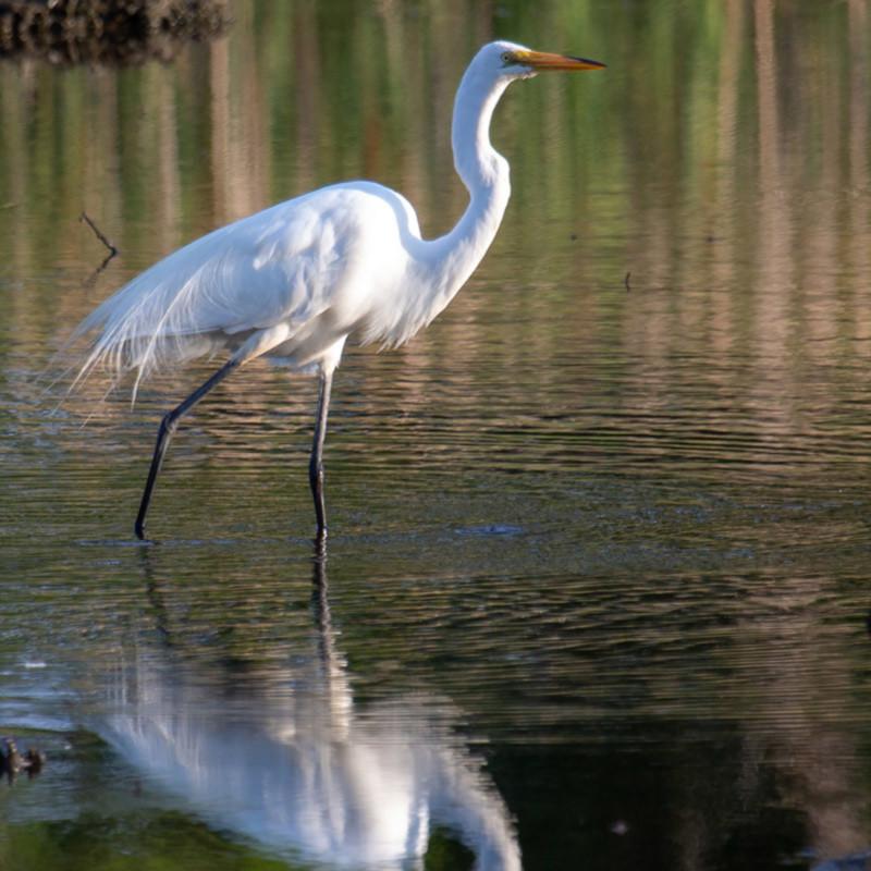 Great egret walk jsxs1g