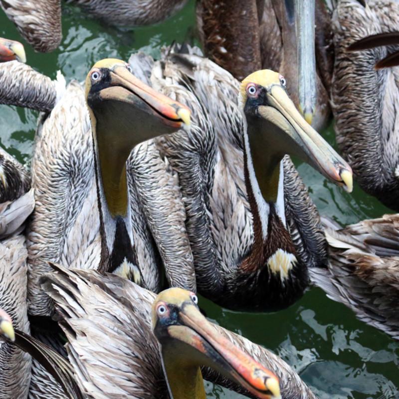 Pelican cartoon bkgv5k