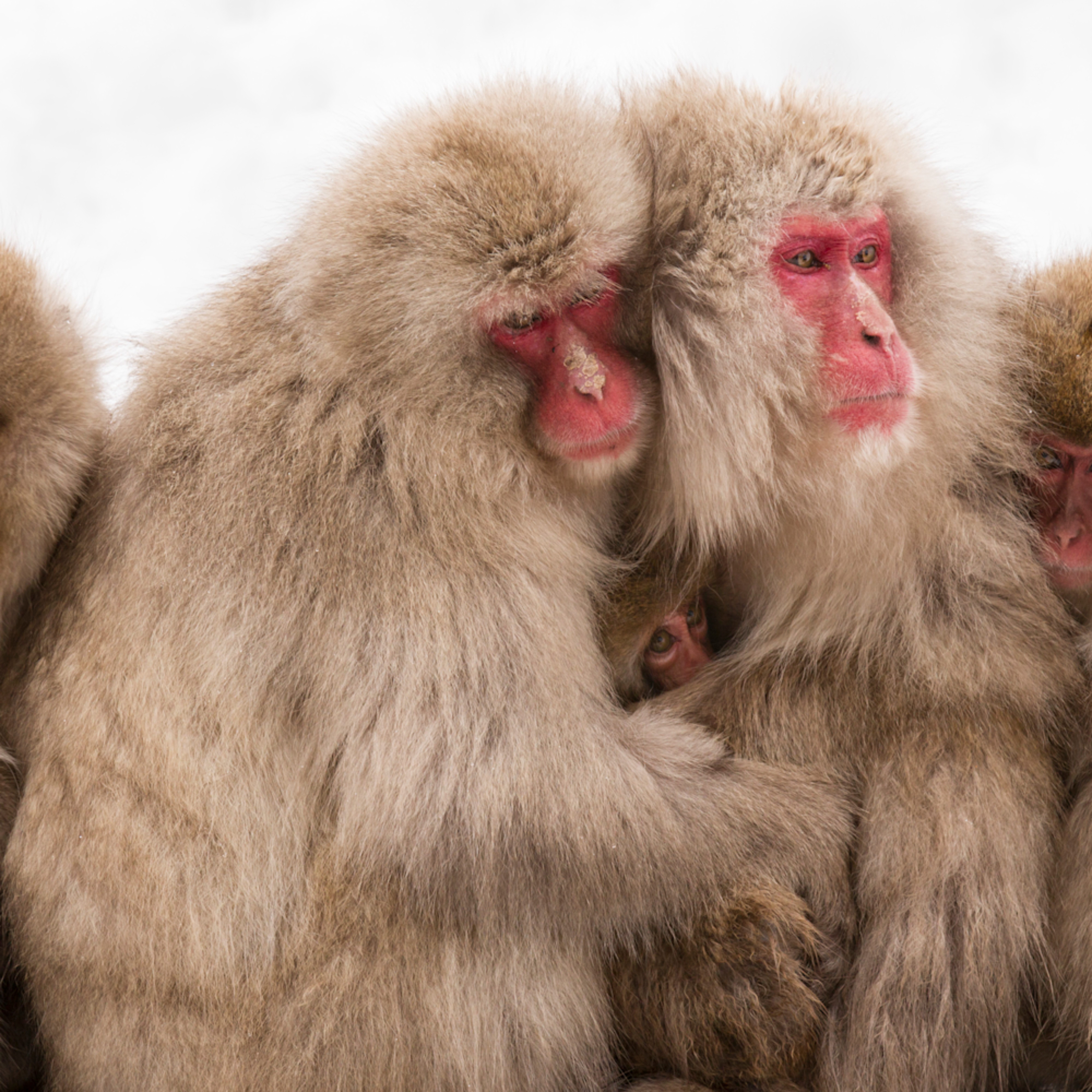 Mbp snow monkeys 20120214 6740 jlgvlm