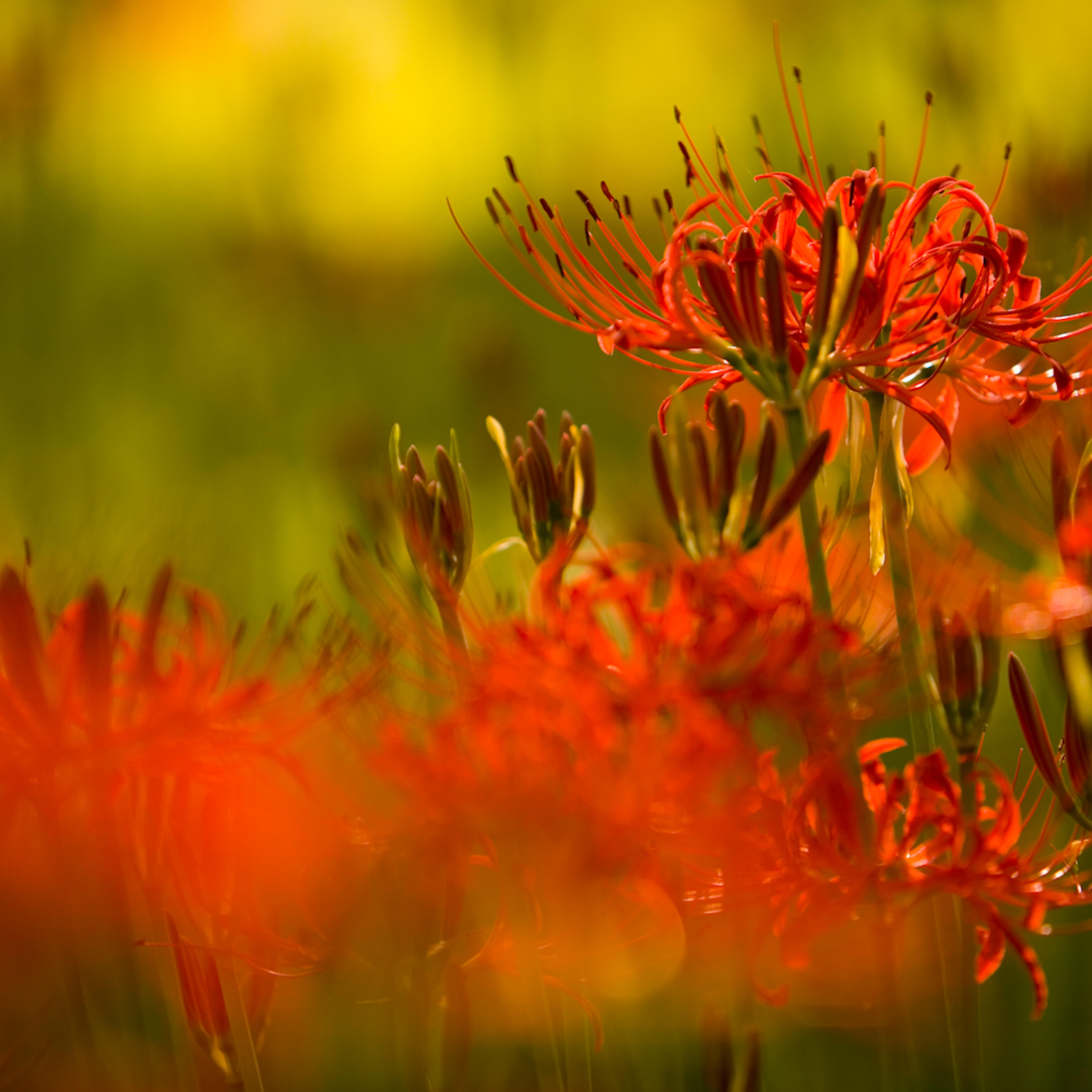 Kinchakuda equinox flower 3420 ns3trx