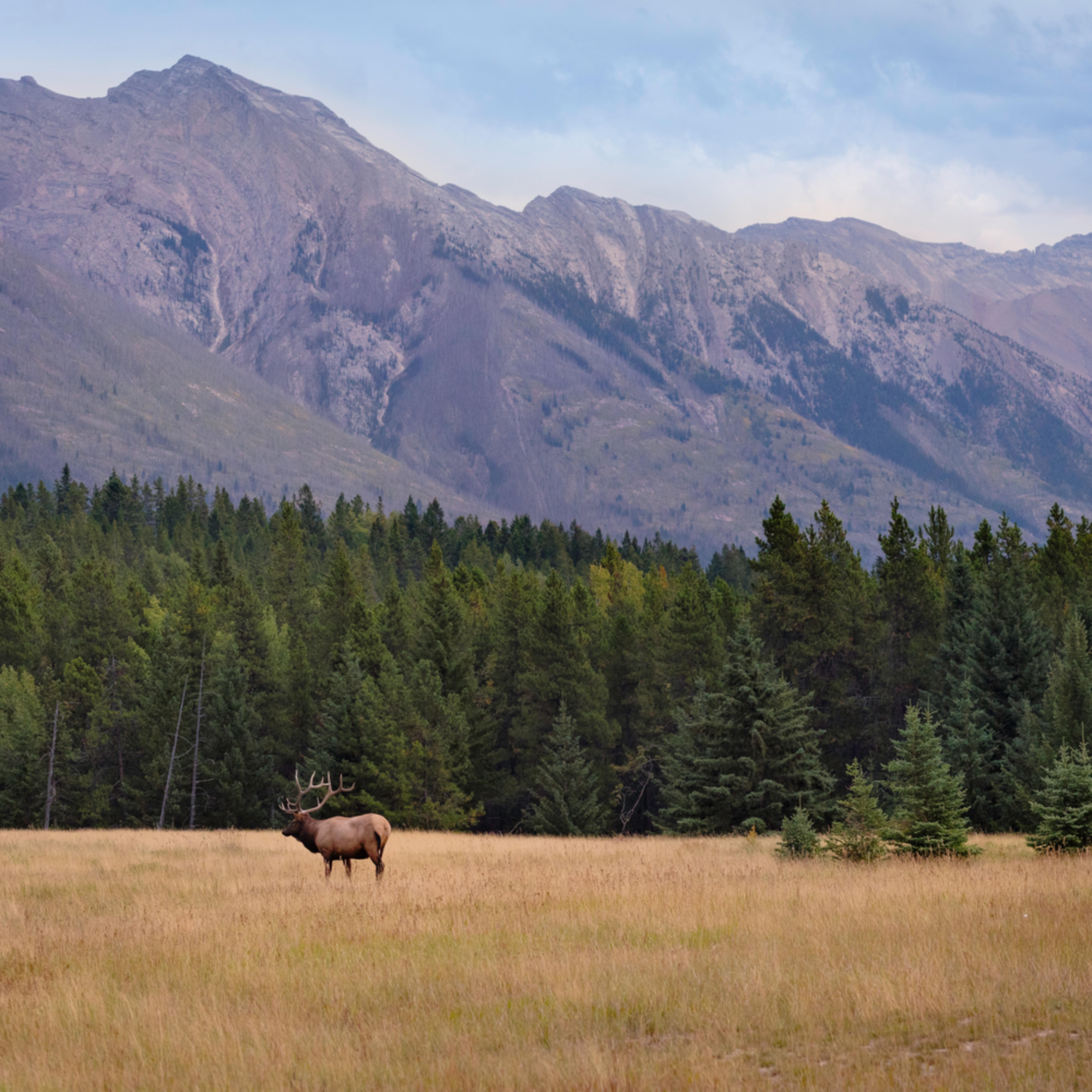 Bull elk banff heather k jones 1 uhcced