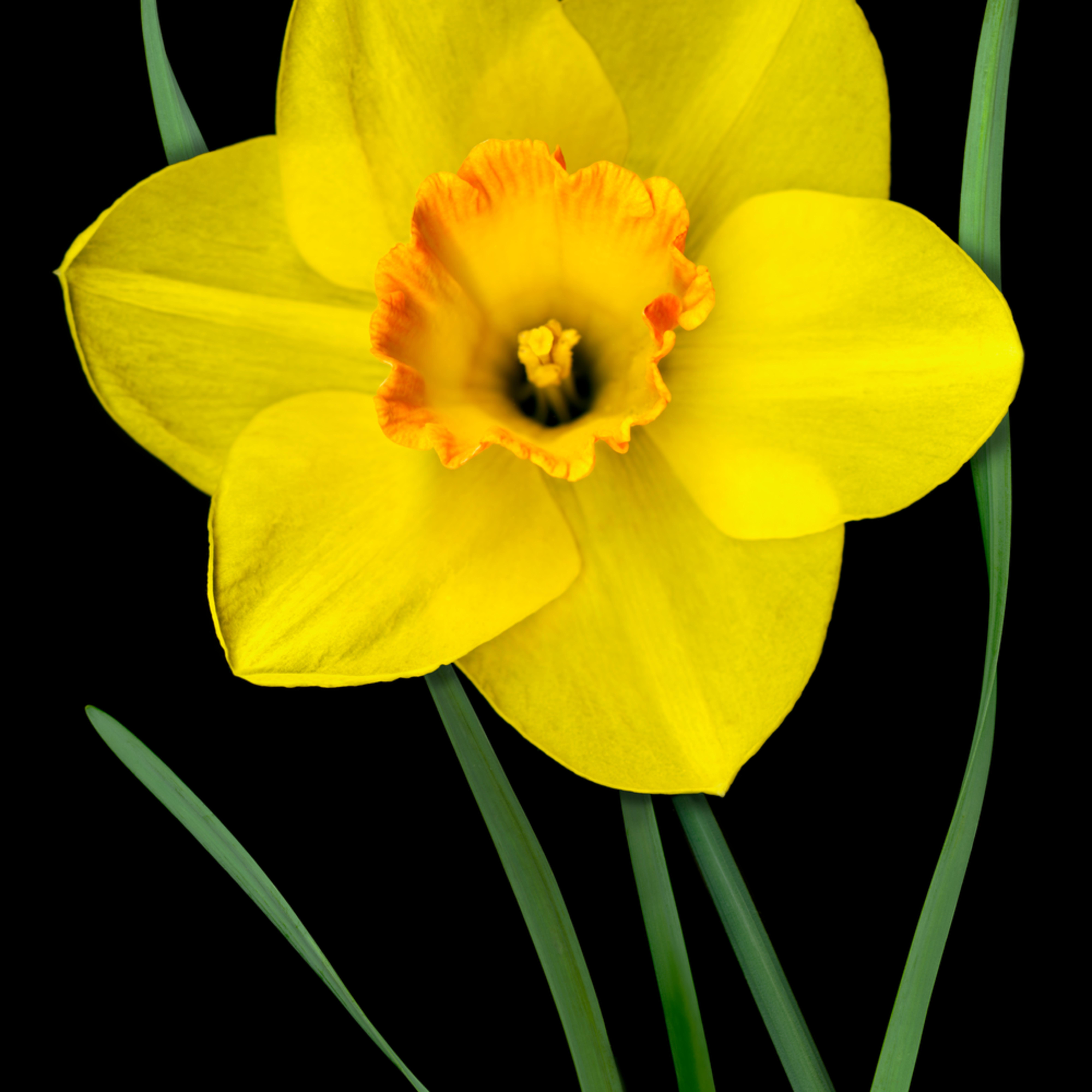 060402 ahern single yellow daffodil 40x30x300 gxcg8o