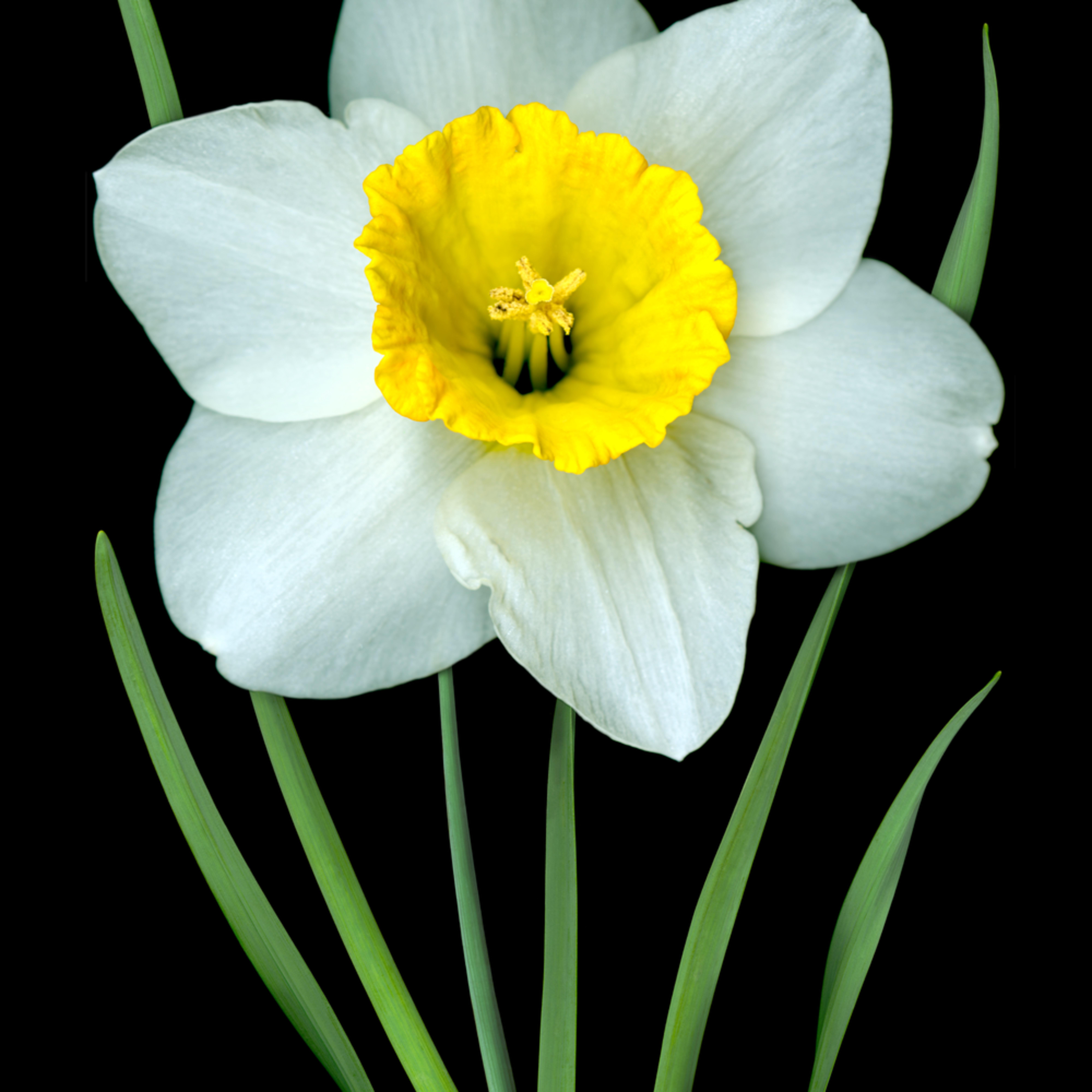 060404 ahern single white daffodil 30x40x300 videgv