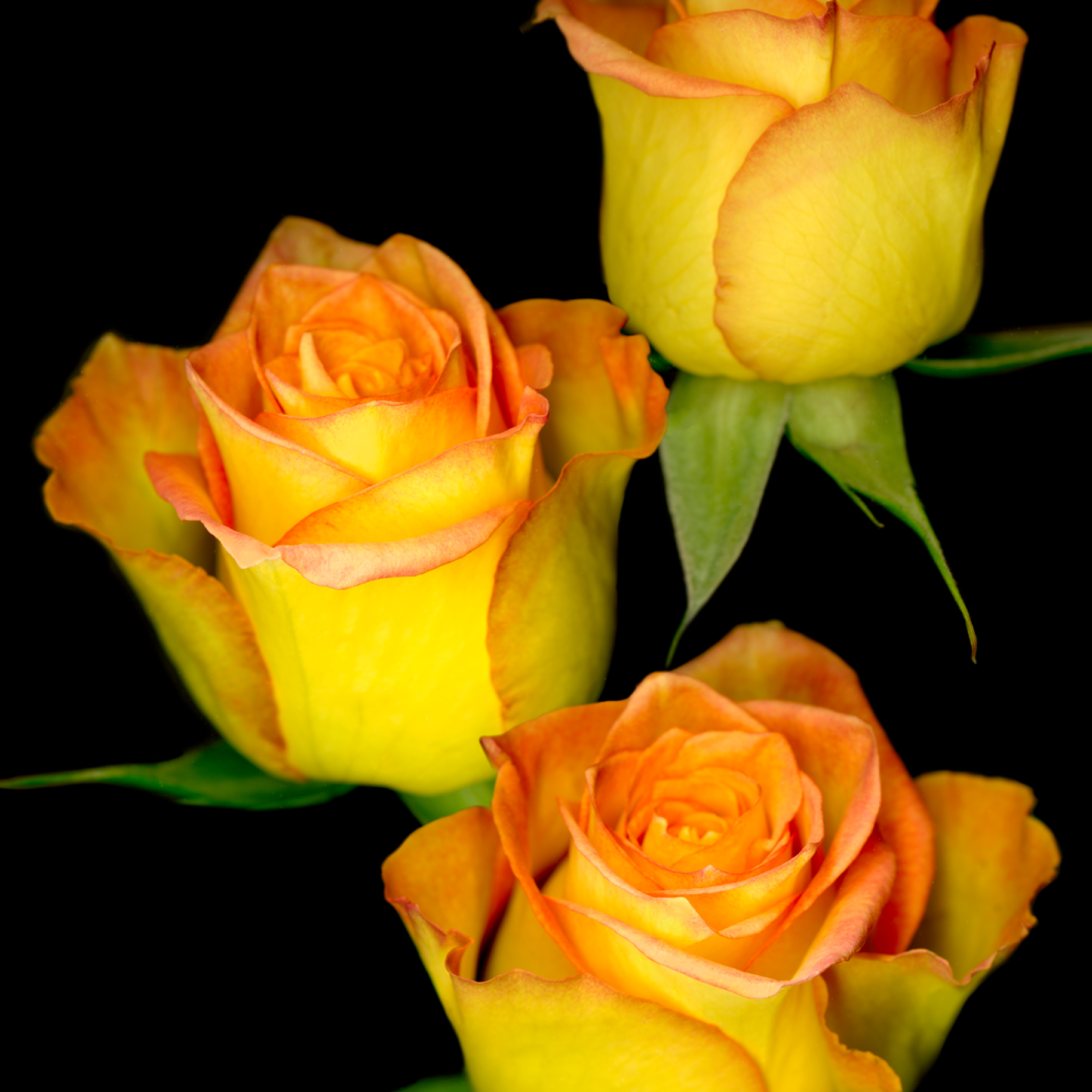 060511 ahern triple yellow roses 30x40x300 c0hvix