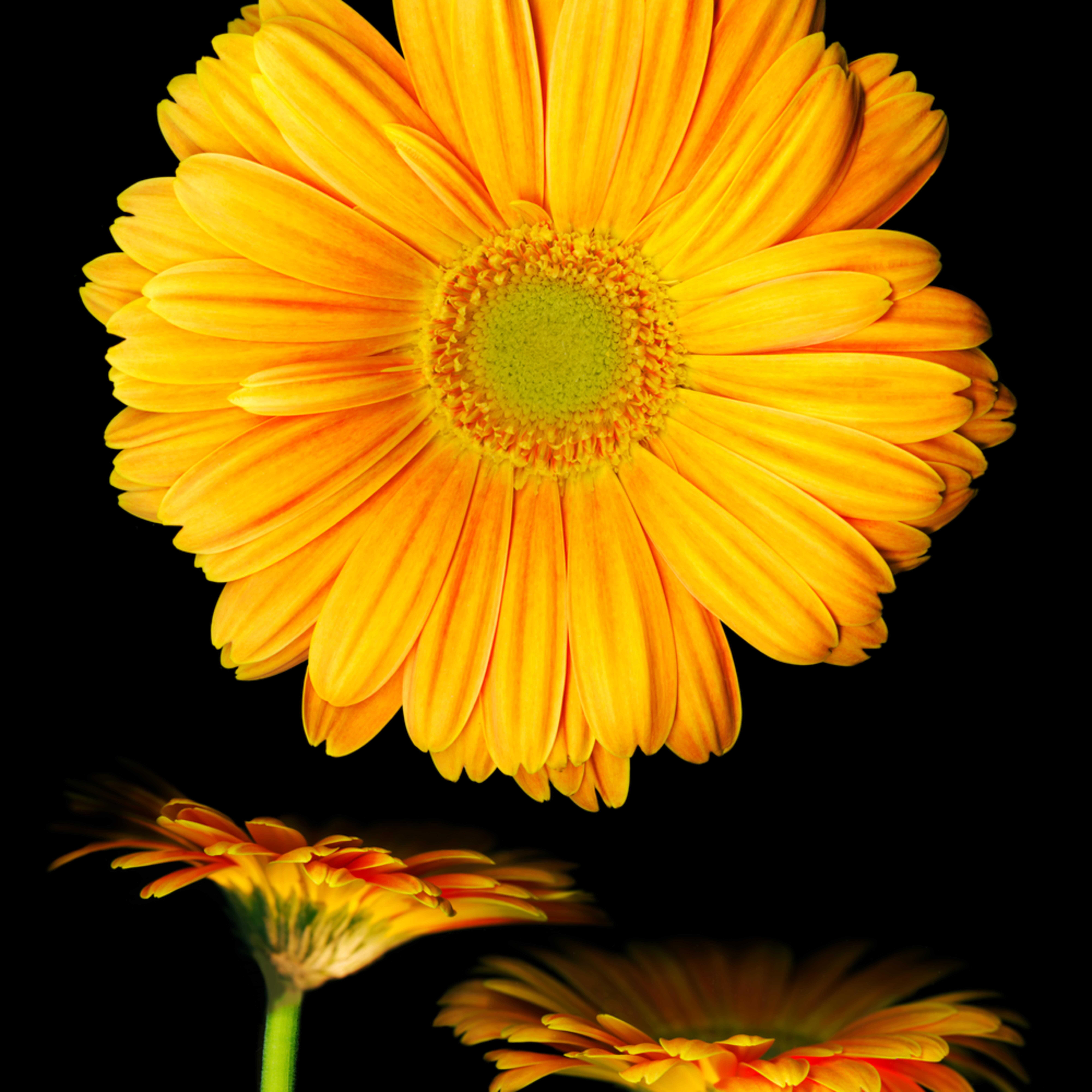 060504 ahern orange gerbera daisies 30x40x300 vbixtw
