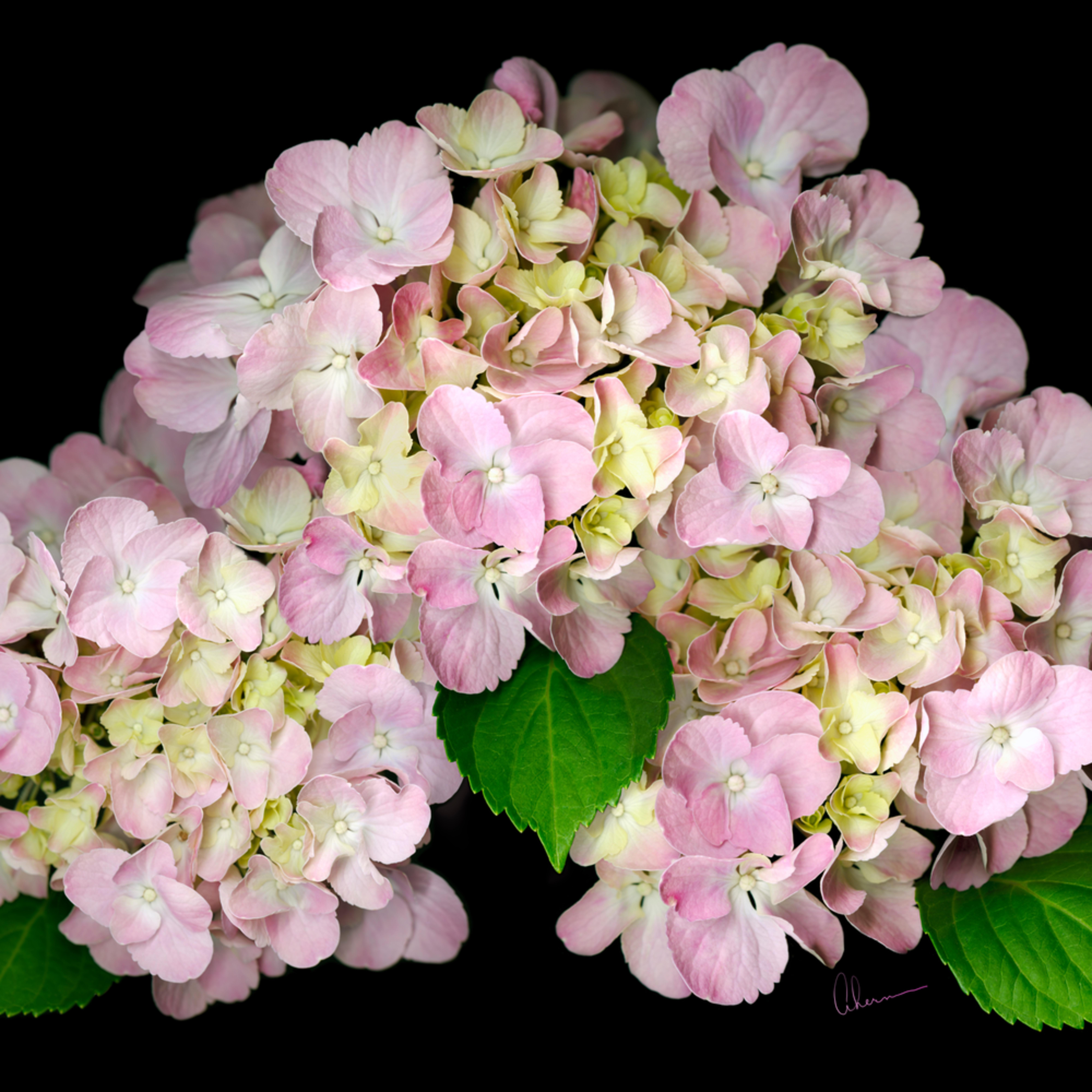 060802 ahern pink hydrangea 30x40x300 gkh7id
