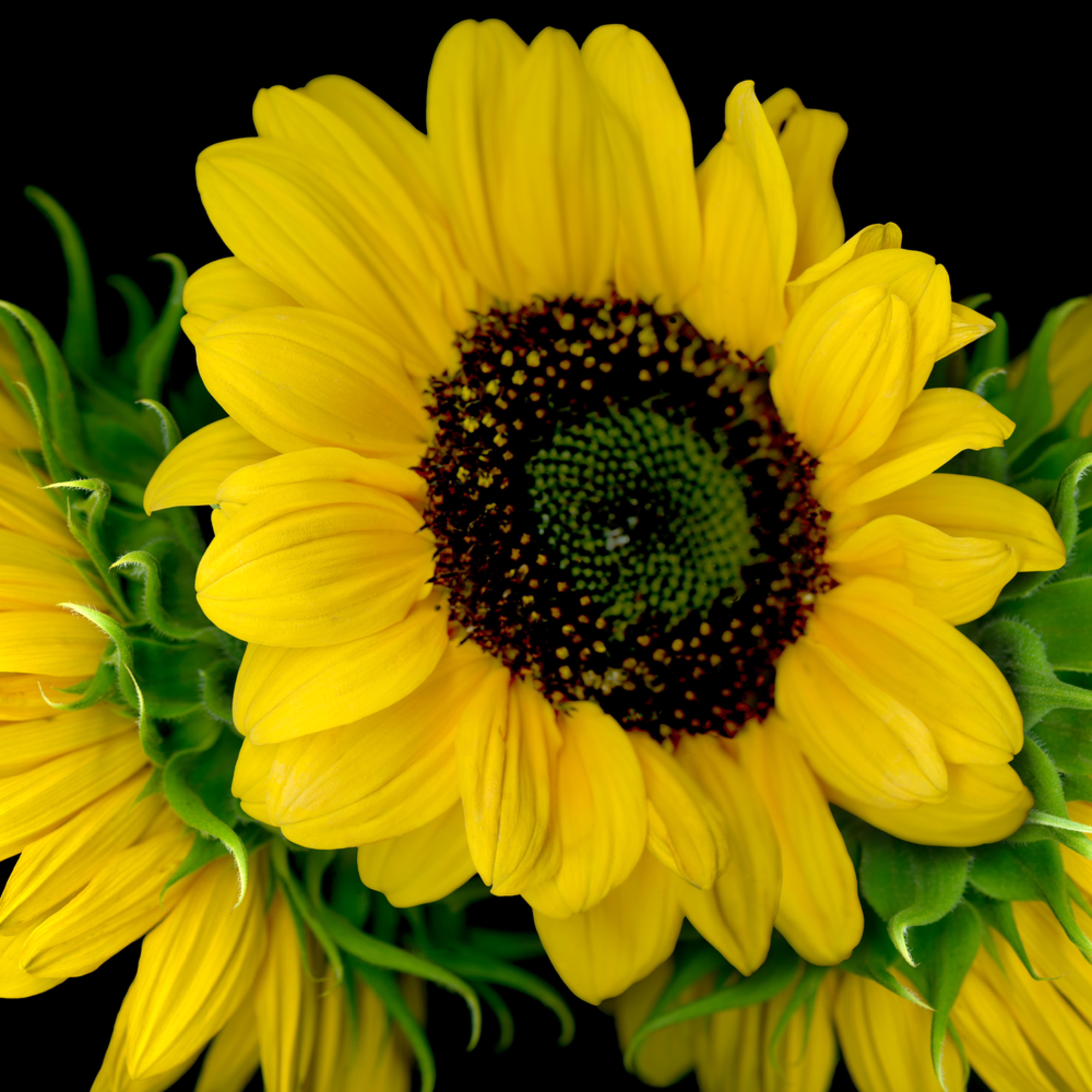 080502 ahern triple sunflower 30x40x300 eculvv