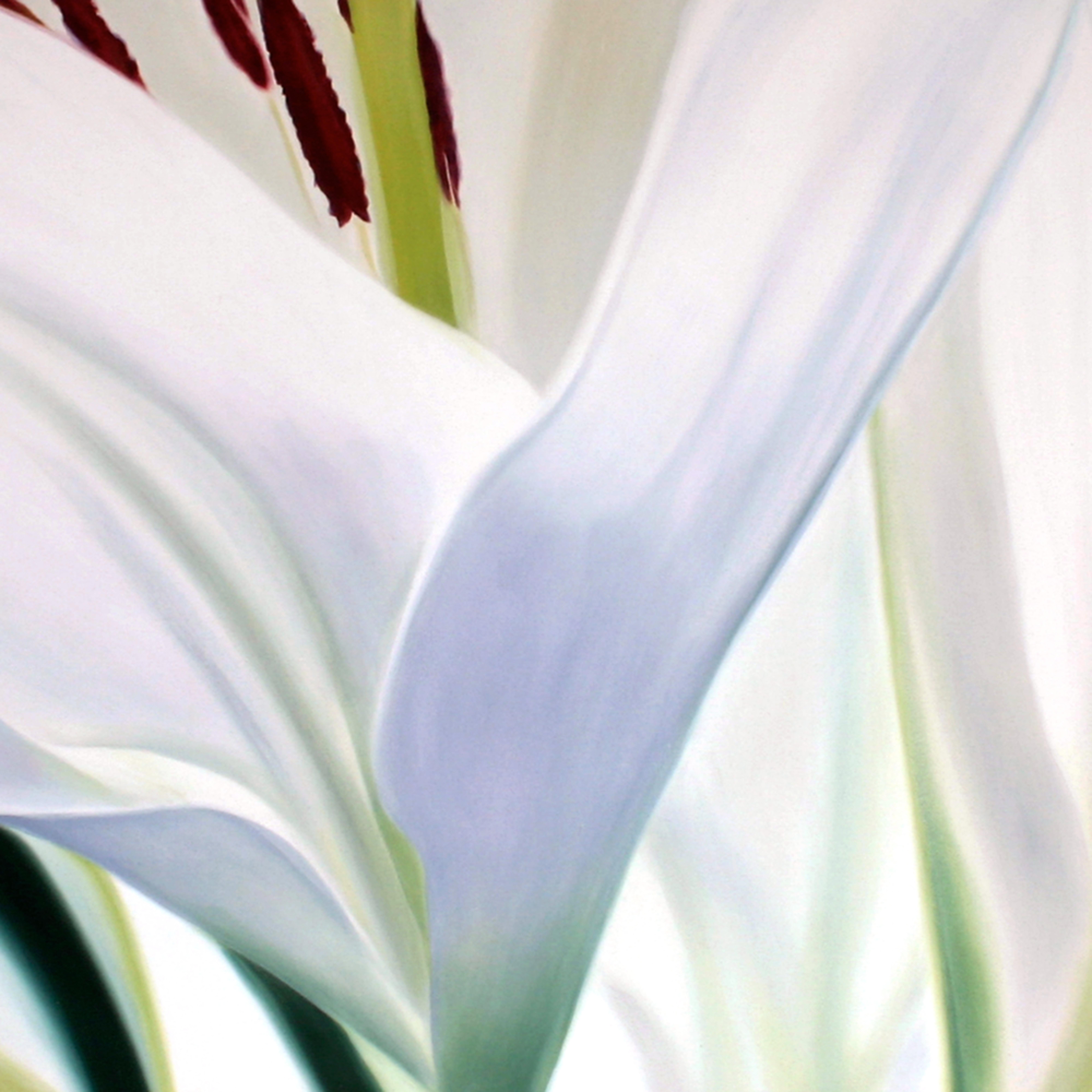 lilies ysrp7v