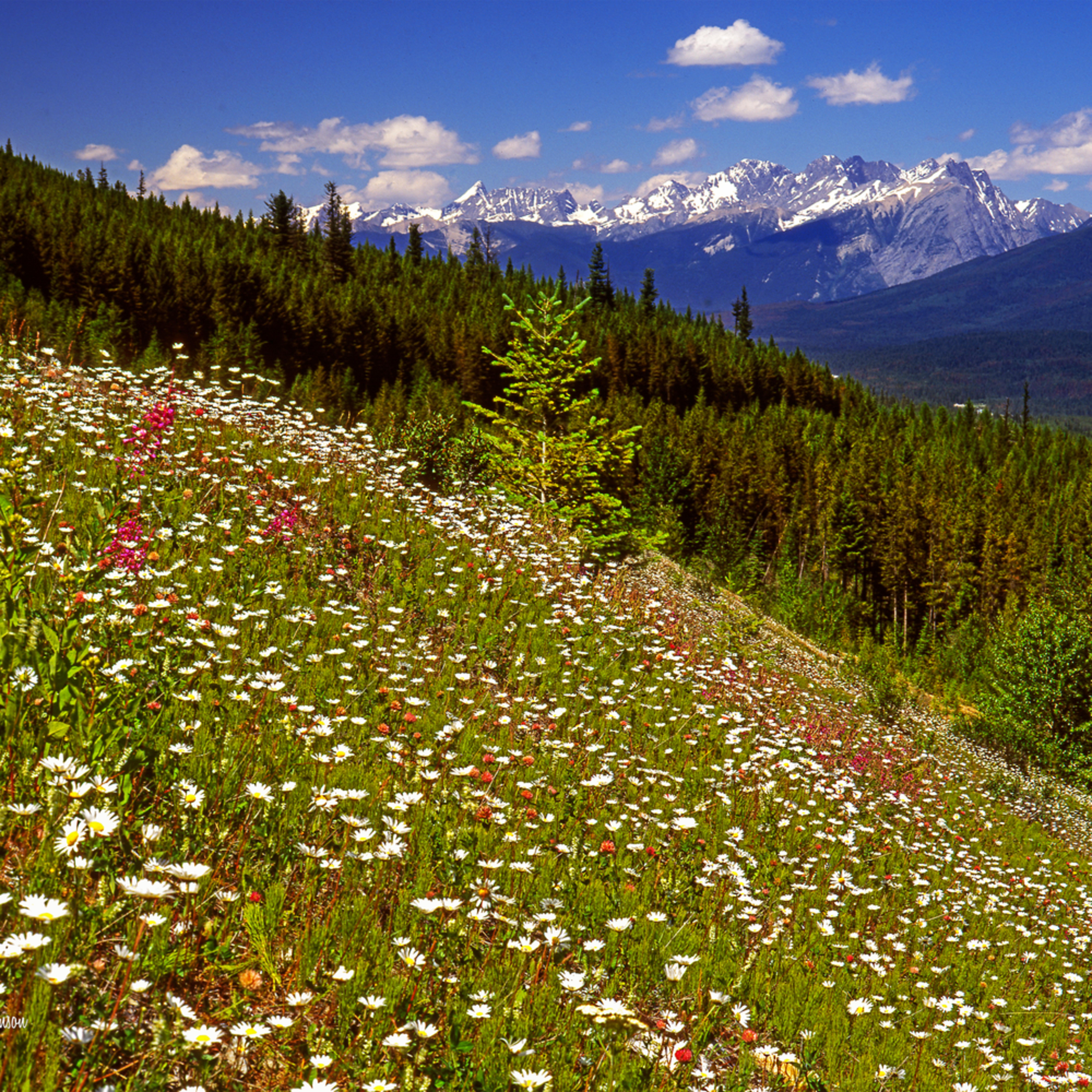Kootenay wildflowers c5l3ah