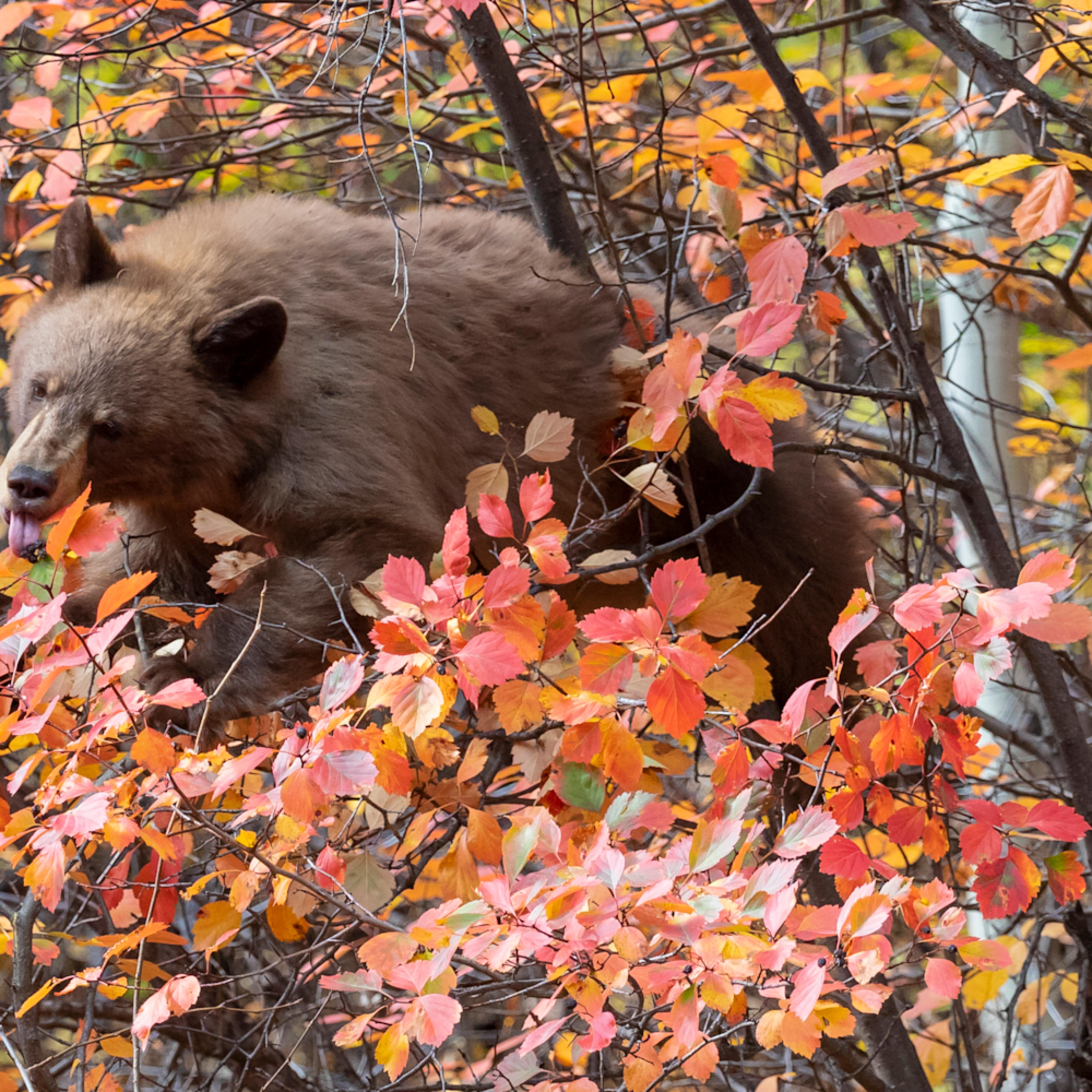 Bear r6a2558 g1hc2g