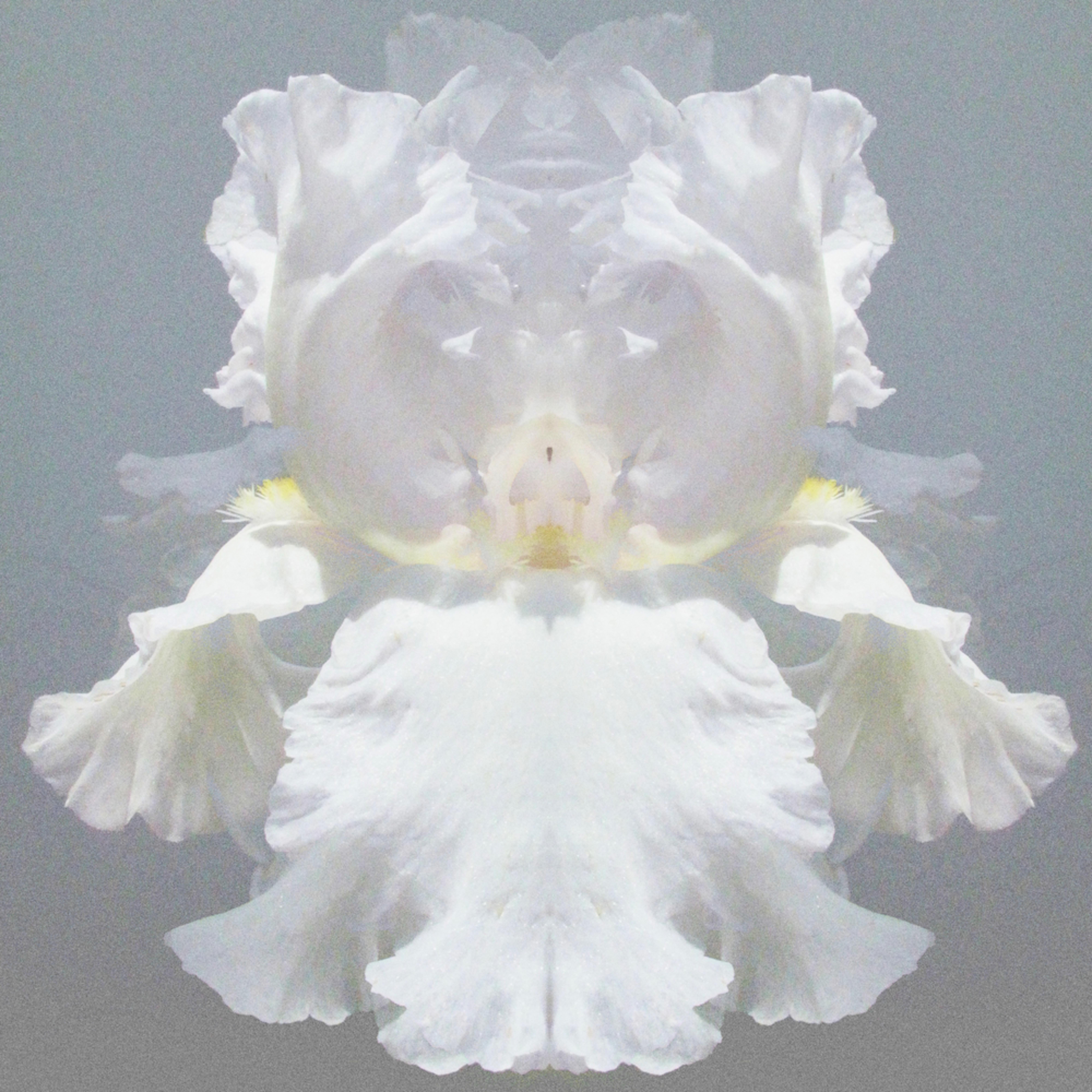 Bearded iris wraith nravfr