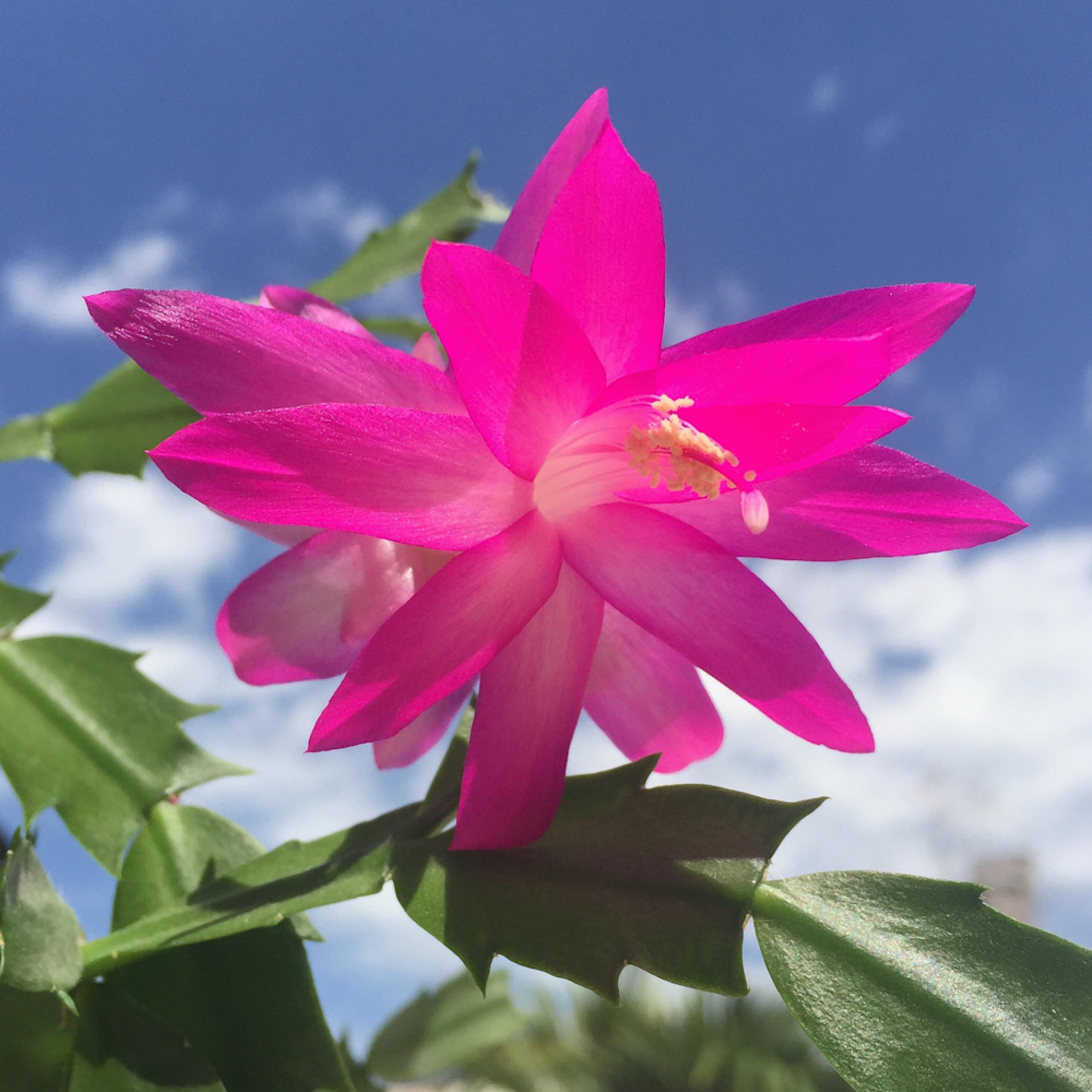 Xmas cactus flower sto702