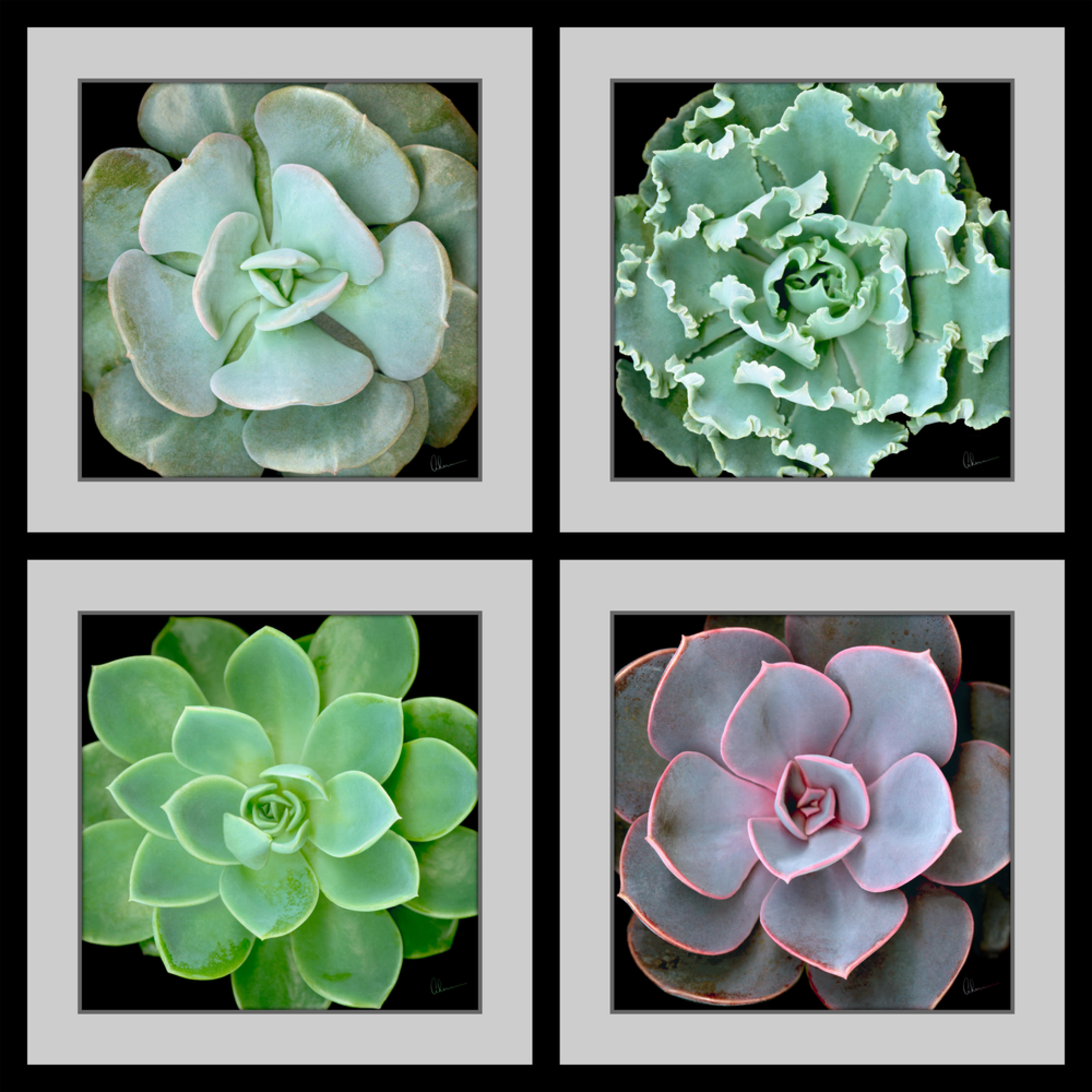 190630 ahern echevaria succulents squared composite 40x40x300 qodnef