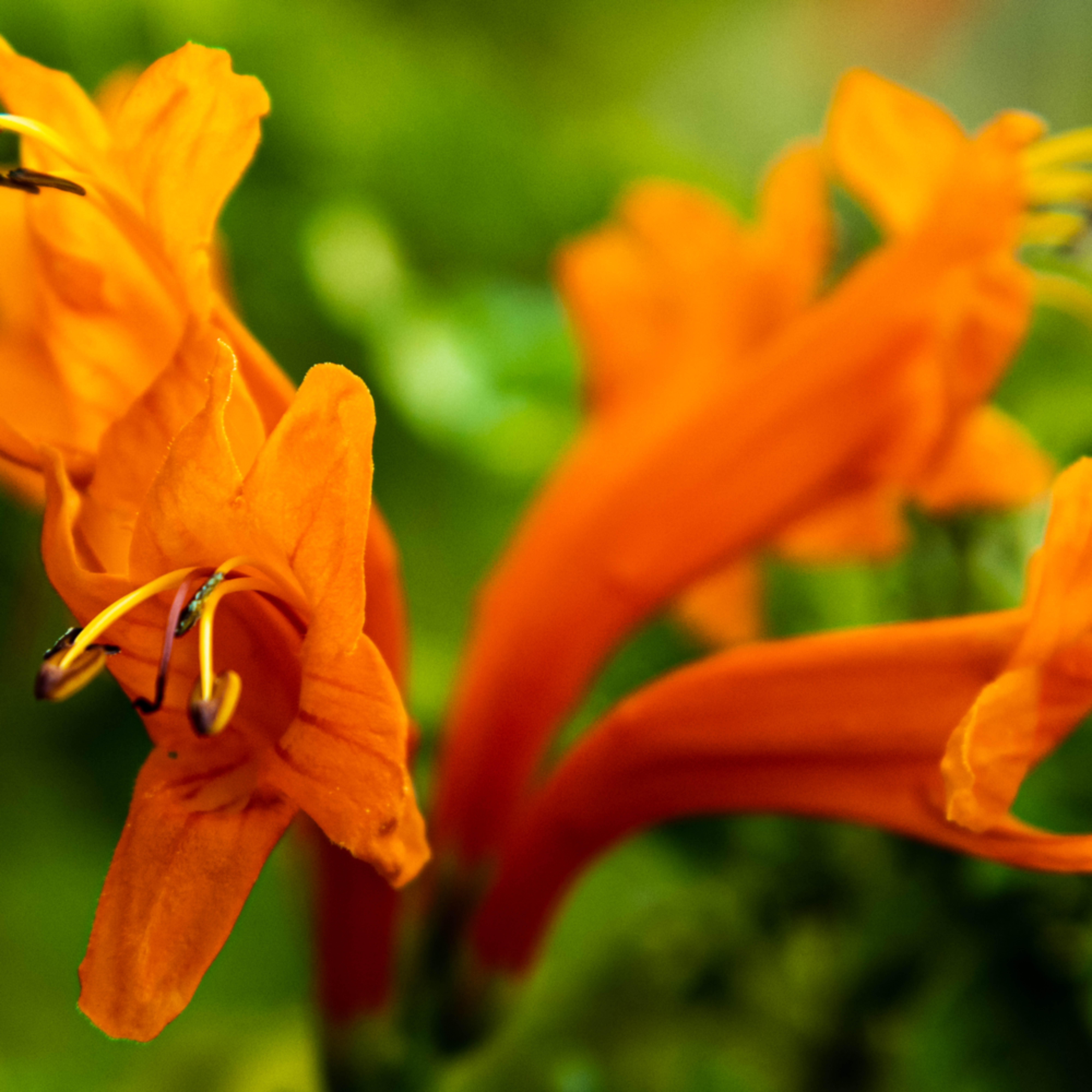 Honeysuckle flower 2 qf52lq
