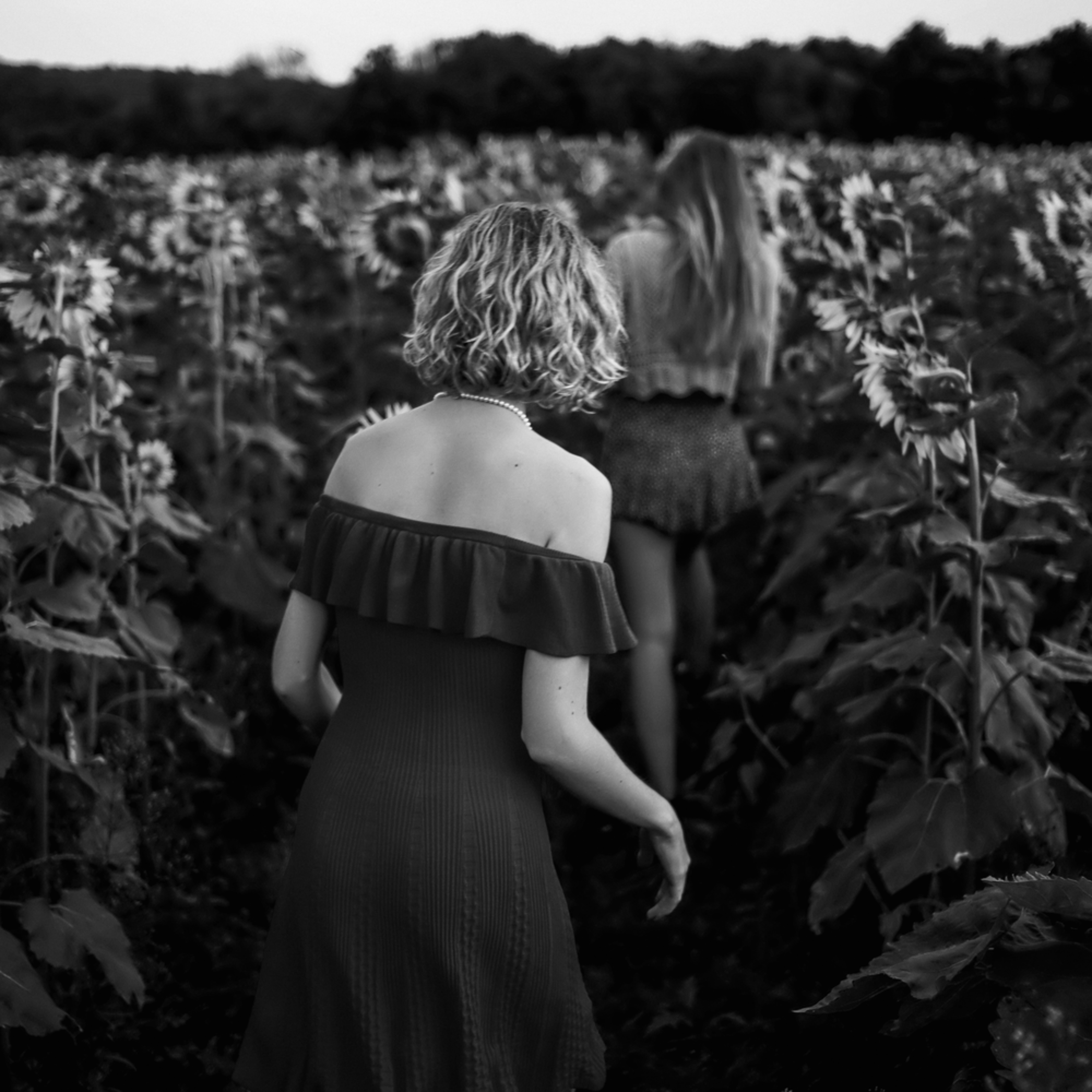L1001816 sunflower field pf7lvg