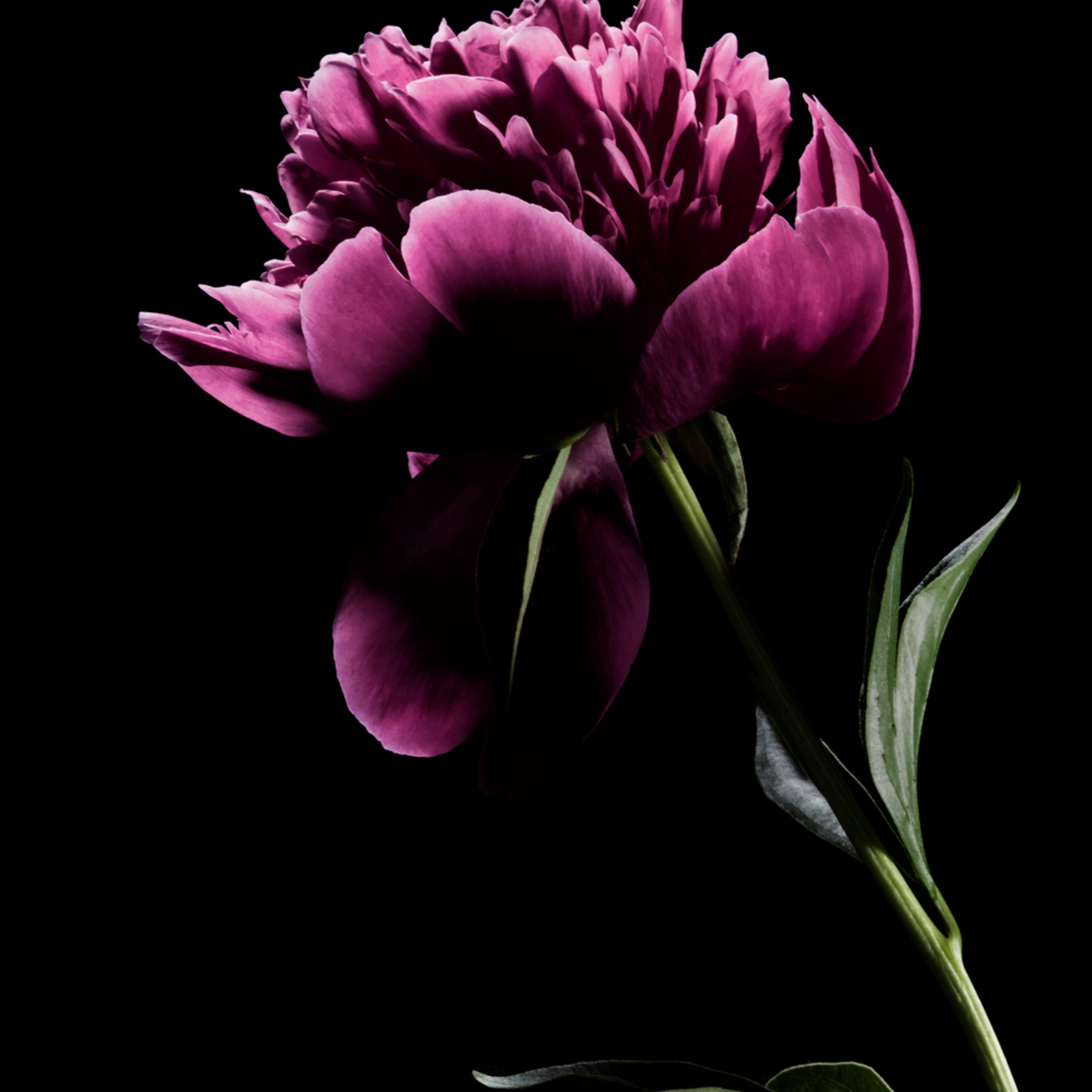 Peony flower 9536 vntkay