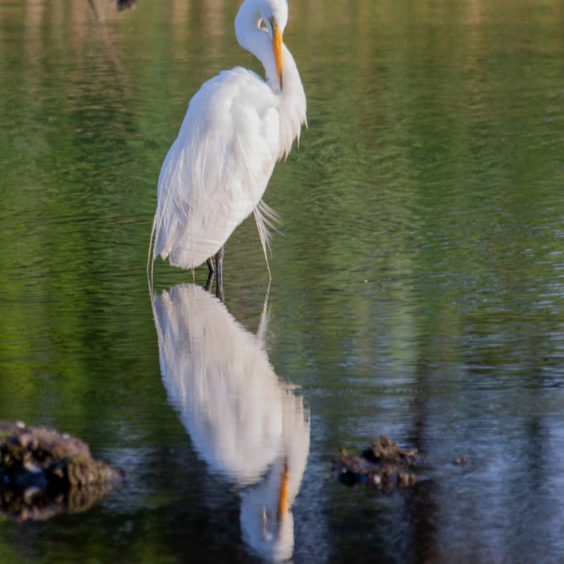 Great egret twist zuolef