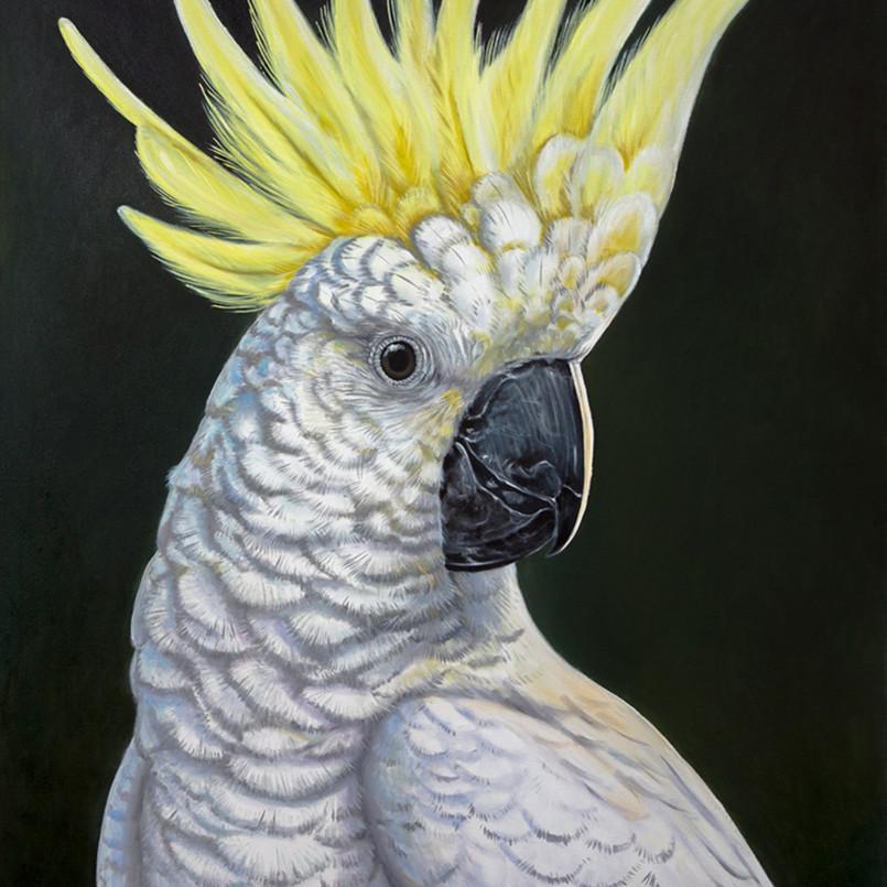 Simon   sulphur crested cockatoo zknwor