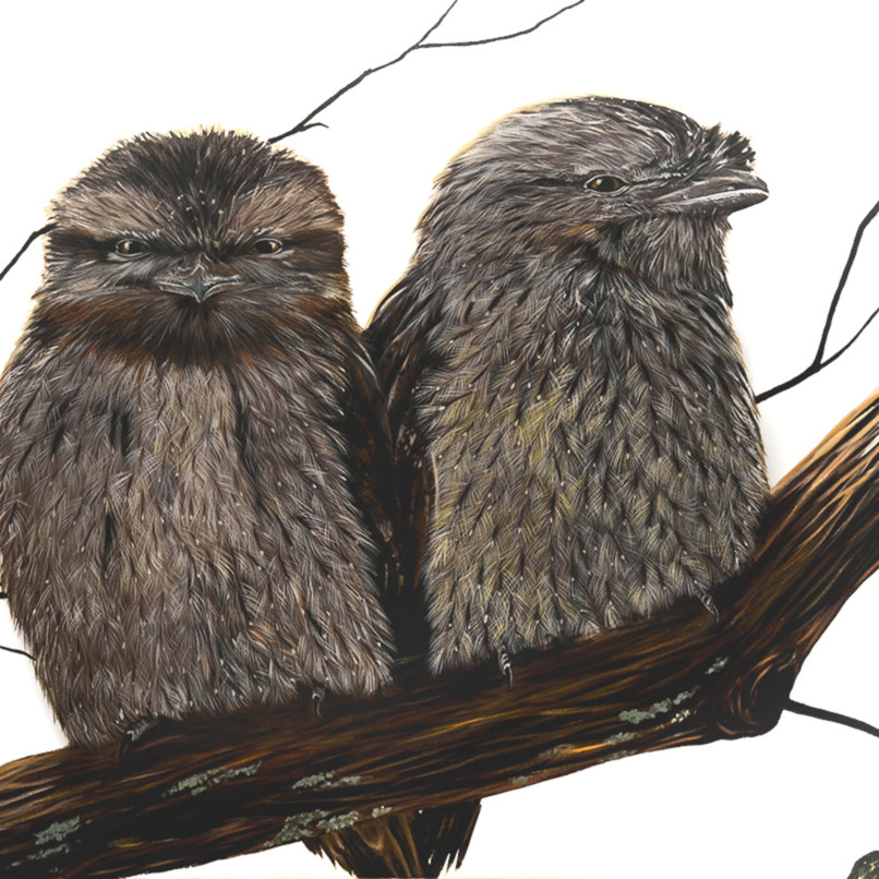 Ted and tilly tawny frogmouths socialmedia1 gcrgvs
