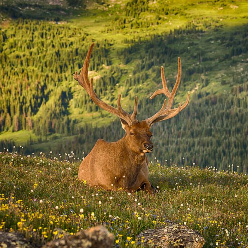 Rocky mountain elk upb16z