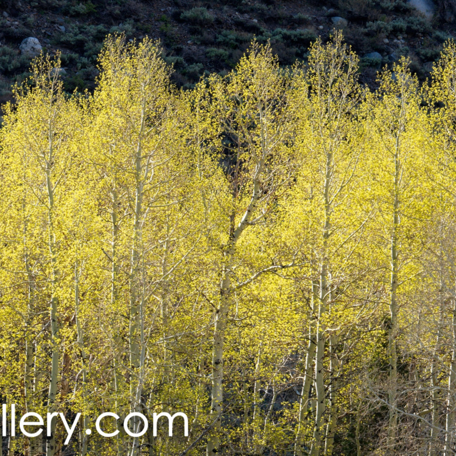 Spring aspens high sierra cro2zs