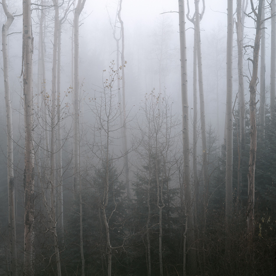 Aspens and fog gym5js