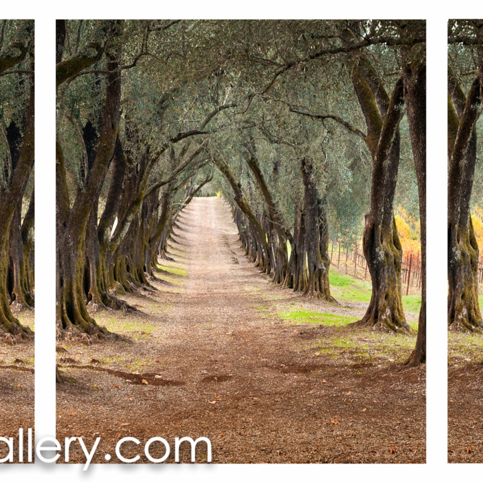 The olive grove path all efmrjr