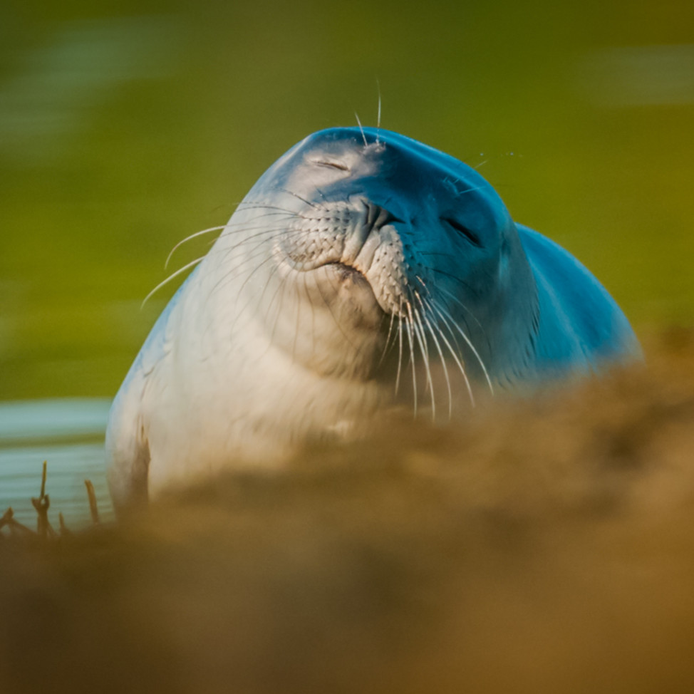Sleepy seal hxgwuw