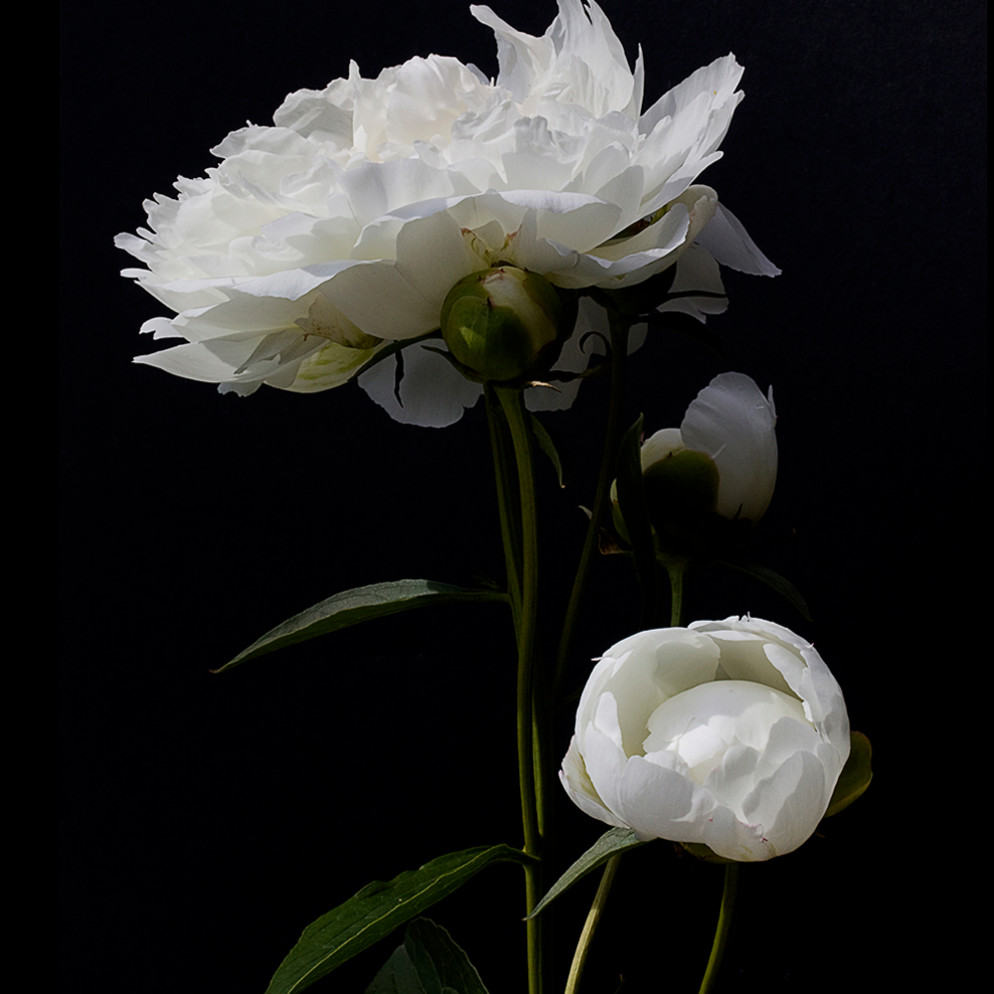 20652648 ridenour n white peony on black qywutt