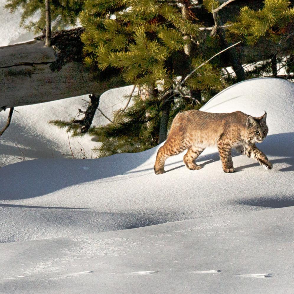 Bobcat2 msslmv