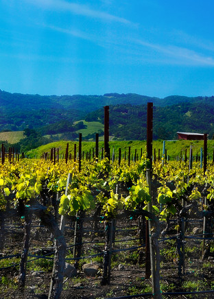 Beautiful Fine Art Paintings and Photographs by Vivian Lo – Pictures of Napa Valley Vineyard for sale - VLo Photo