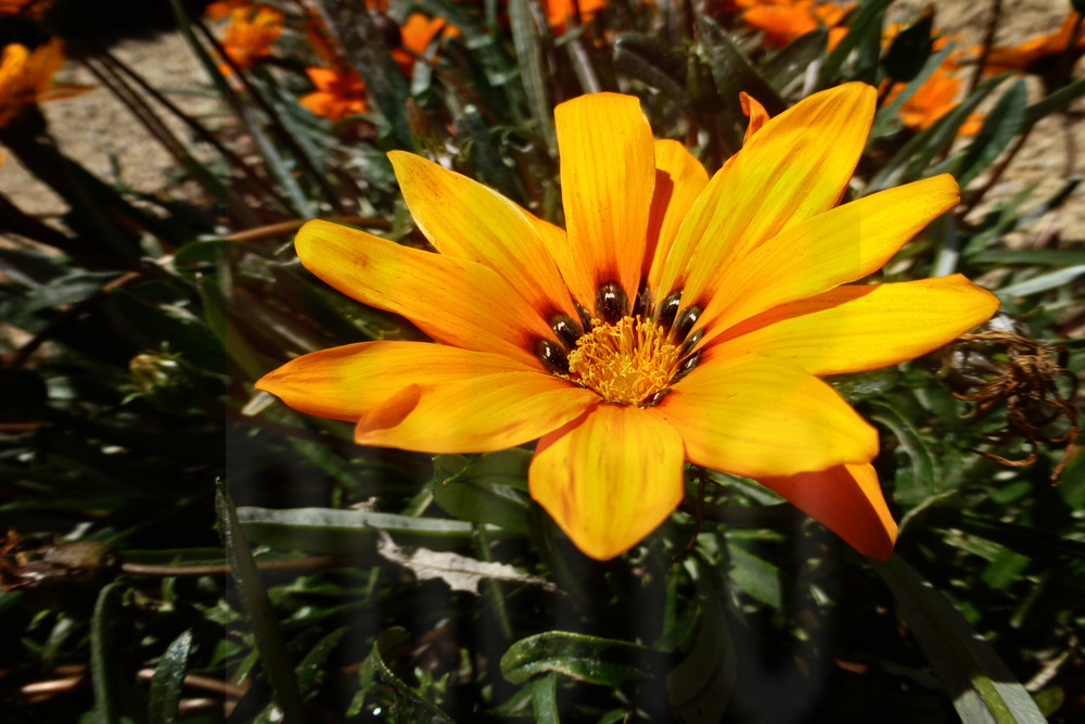 photograph of a large yellow daisy as fine art prints