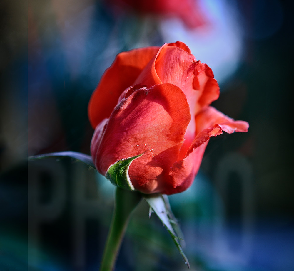 Photograph of a flower - red rose bud