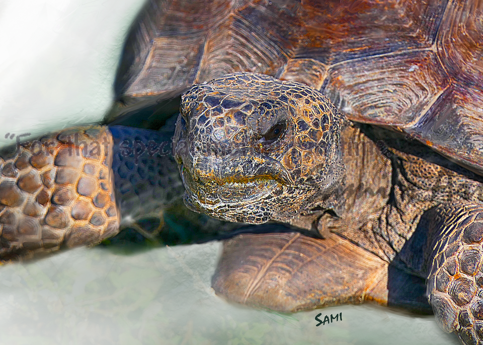 Barefoot Beach Gopher Tortoise