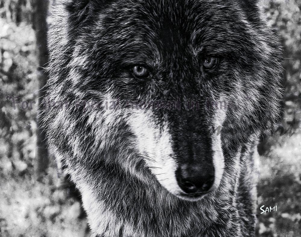 Nira - Wolf Portrait