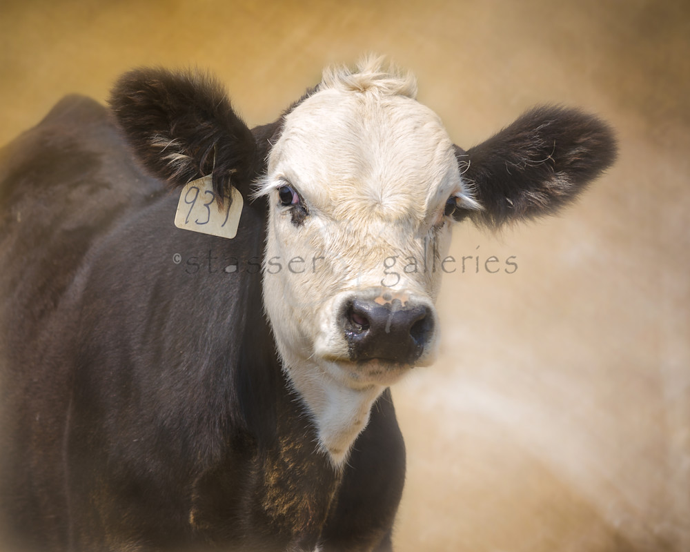 Western, Bald-Face-Calf