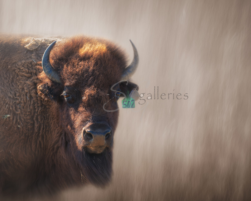Eyes of a mother, Bison, Buffalo