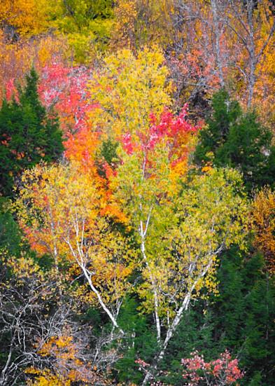 Vt Fall Birches Photography Art | Gary Tobler Fine Art