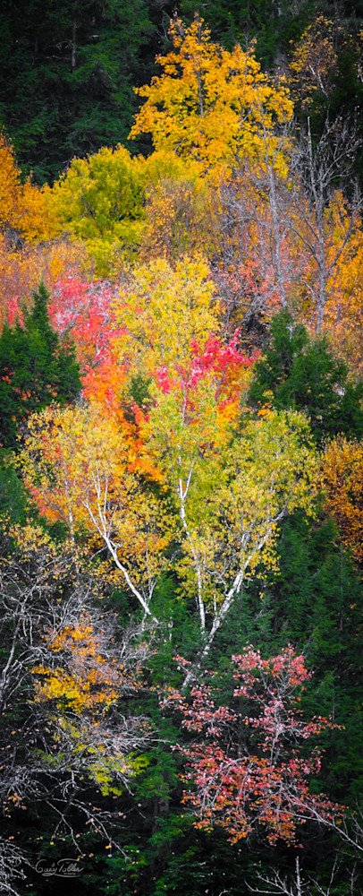 Vt Fall Birches Photography Art | Gary Tobler Fine Art