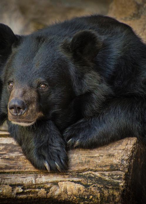 Photographic Portrait of Black Bear at Denver Zoo - Prints for Sale