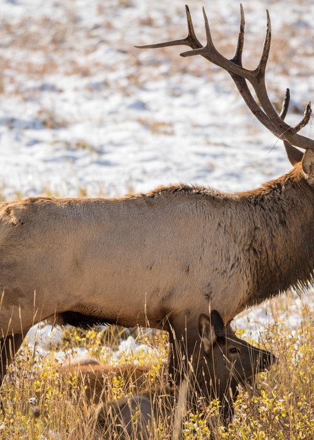 Photo of Colorado Bull Elk Watching Over Harem Rocky Mountain National Park