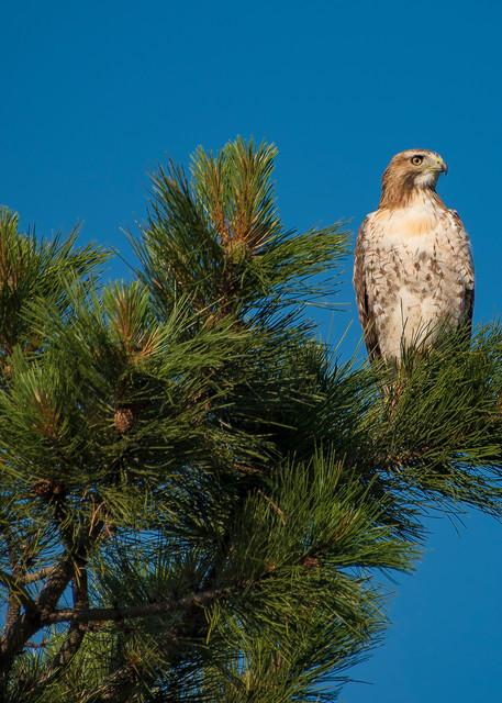 Photo of Beautiful Colorado Ferruginous Hawk atop Pine Tree