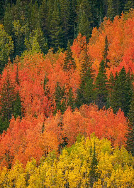 Photo of Grove of Yellow & Orange Aspen Trees on Mountain with Tall Pines - RMNP