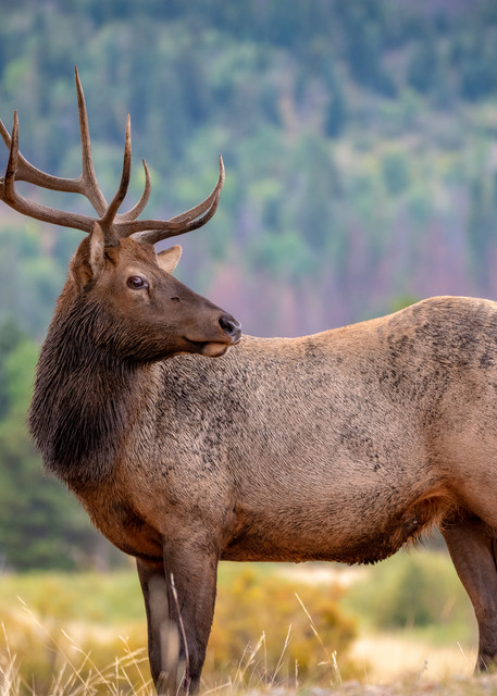 Photo of Young Bull Elk Colorado Rocky Mountain National Park, Prints for Sale
