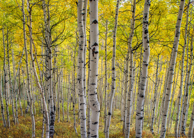 Strand of Aspen Trees Fall Colors - Crested Butte Colorado Photography Print